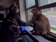 Cats Engaged In Fighting