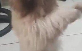 Doggo Does The Shimmy Dance For Treatos