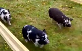 Epic Pig Race With Amazing Comeback