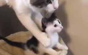 Cat Mother Doesn't Let It's Kitten Go
