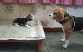 Baby Beagle Has A Cute Conversation With Daddy