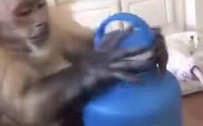 Smart Capuchin Monkey Unboxes A Water Bottle
