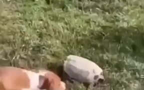 Biting Turtle Sends Dog And Horse Packing