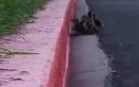 Ducklings Teach A Lesson About Never Giving Up