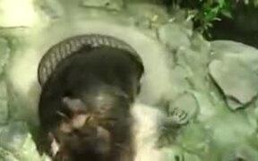 Raccoon Doesn't Appreciate It's Manhole Trespassed