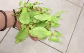 Mantises Disguised Just Like Leaves