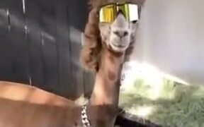 Coolest Llama To Ever Walk The Earth