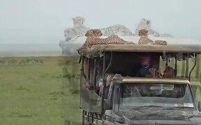 Safari Truck Gets Taken Over By Cheetahs