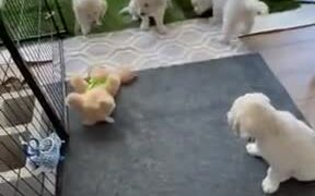 Golden Retrievers Play With Their New Playmate