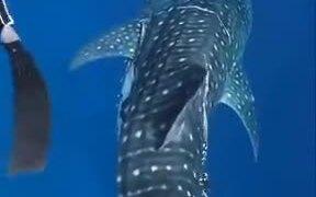 Man Cuts Off Plastic Stuck To A Whale Shark