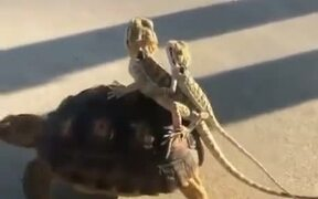 Lizards Hitch A Ride On A Tortoise