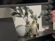 Parrot Enjoy Some Nice Piano Music