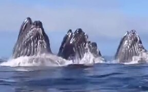 Pod Of Whales Getting Their Food