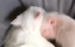 Piglets Cuddle Up With Cat And Sleep