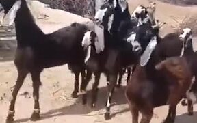 These Goats Are Certainly Feeling The Beat