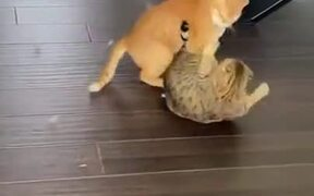 Massive Fight Between Two Cats