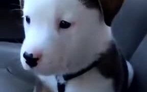 Little Pup Gets Angry About Its Own Hiccups