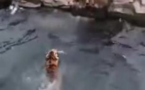 Tigers Try To Get A Hold Of A Piece Of Meat