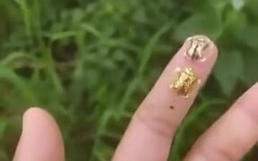 The Absolutely Beautiful Golden Tortoise Beetle