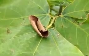 Moth Camouflages Itself As A Dried Leaf