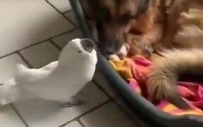 Cockatoo Barks Near Sleeping Doggo