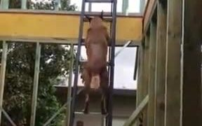Doggo Climbs Up A Ladder To Find Owner