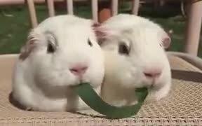 Guinea Pigs Eat The Same Stalk Of Grass