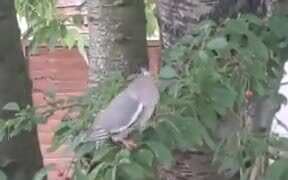 Bird Struggles With Trying To Eat A Cherry