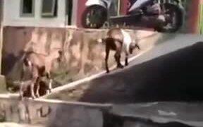 Goats Slipping Around And Having Fun