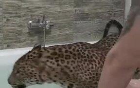 Leopard Enjoys A Bath In A Bathtub Like A Dog