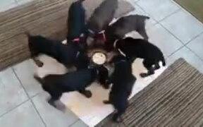 Strange Ritualistic Pinwheel Spinning Of Puppies