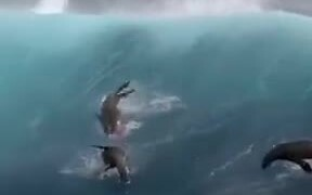 Sea Lions Catching Some Big Waves