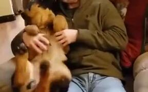 German Shepherd Puppy Gets A Nice Belly Rub