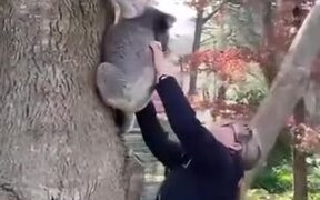 Reuniting A Baby Koala With It's Mother