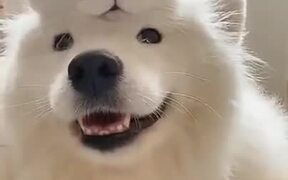 Samoyeed Dog And It's Cat Friend