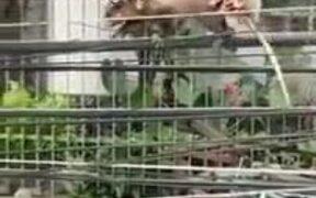 Opossum Carries Around It's Many Babies