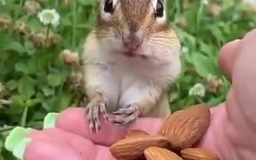 Squirrel Stuffs Nuts Into Its Mouth