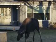 Moose Vs Prius