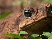 Comparing Tropical+Temperate Frog Breeding