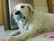 Golden Retrieve Refuses To Give Up Pacifier