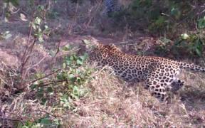 Two Leopards Vs A Python