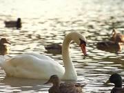 White Swan in SloMo