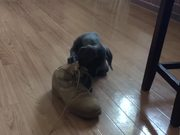 Puppy Doesn't Want Soldier To Put Boots On
