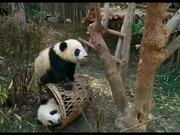 Pandas Official Trailer