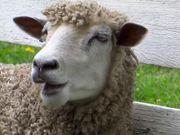 Chewing Sheep Closeup