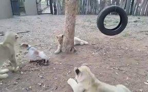 Jack Russl Terrier Vs Lion Cubs