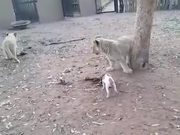 Jack Russl Terrier Vs Lion Cubs