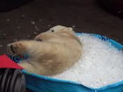 Polar Bear Playing In An Ice Pool