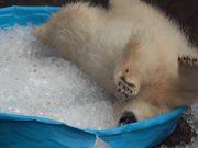 Polar Bear Playing In An Ice Pool