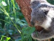 Koala Bear Eating in Tree